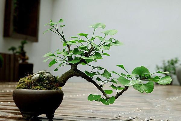 树中老寿星——银杏盆景