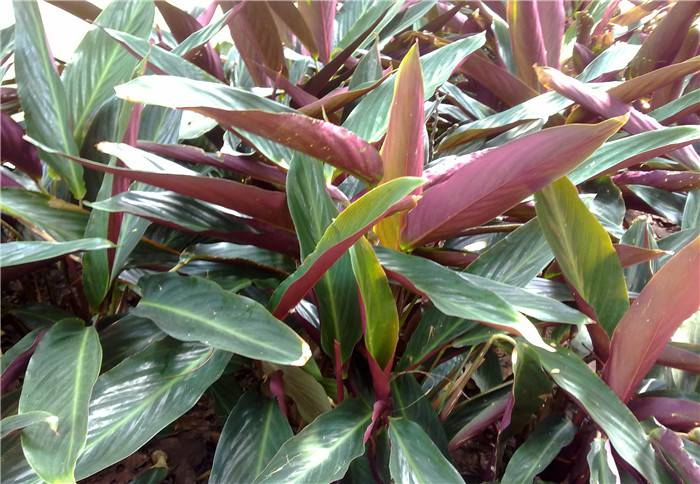 紫背竹芋图片欣赏