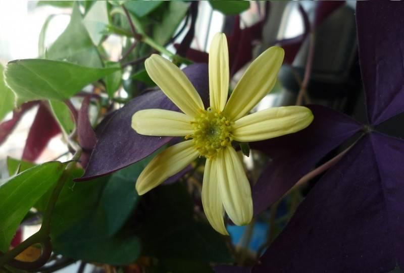 绿玉菊的小花