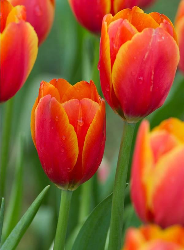 热烈的红色郁金香