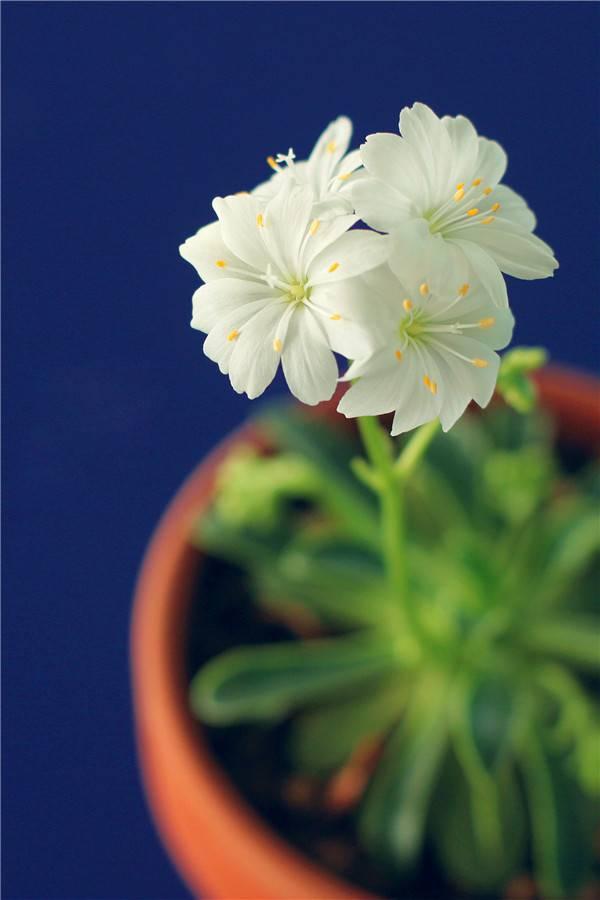 白色的露薇花