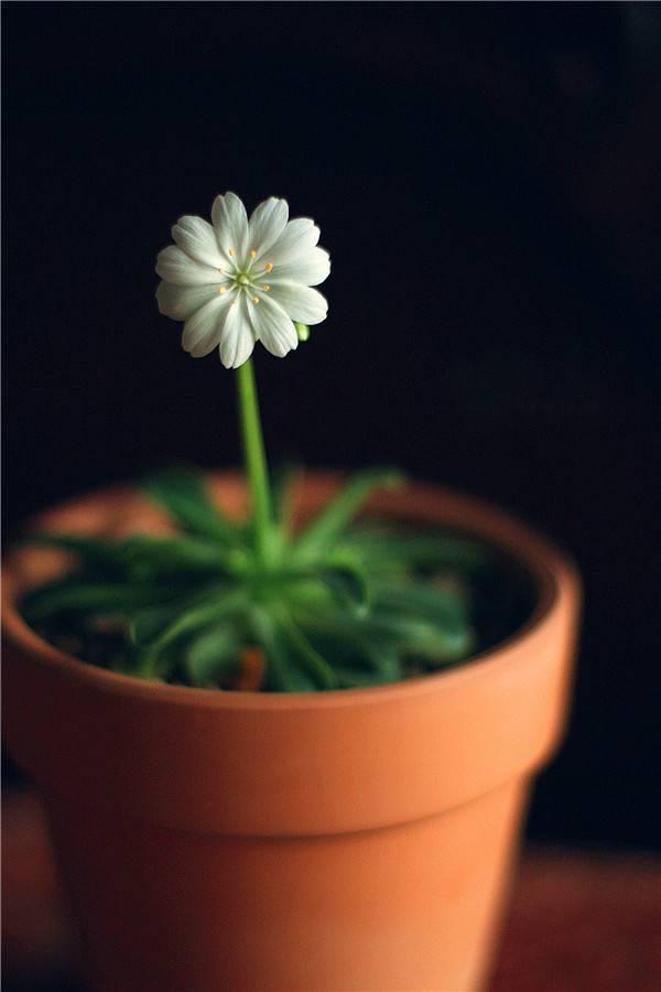 岩石园的宠儿——露薇花