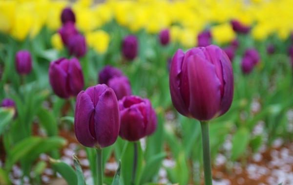 深沉的紫色郁金香