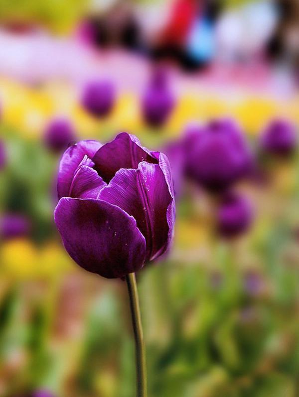含苞的紫色郁金香