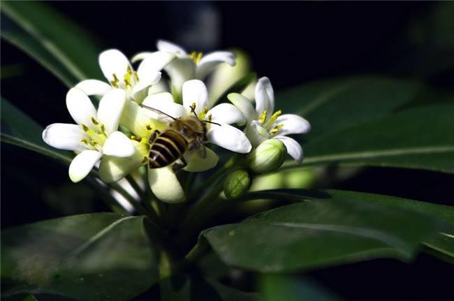 非洲茉莉与蜜蜂