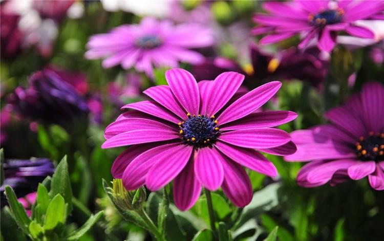 紫色非洲菊