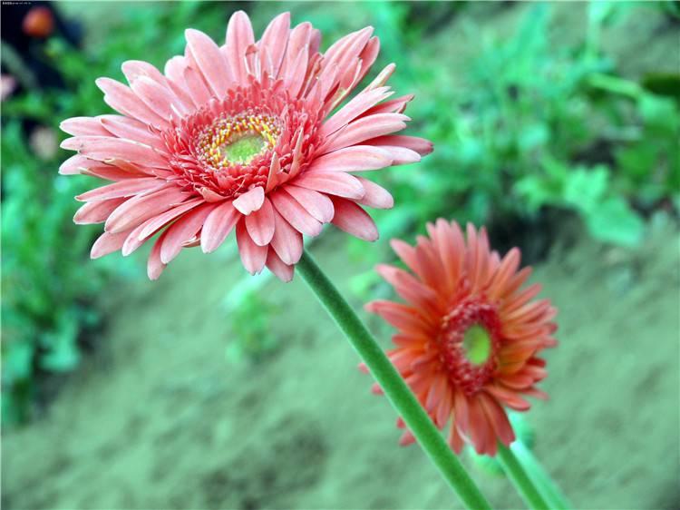 粉色非洲菊