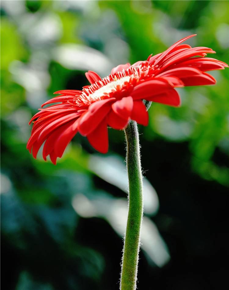 孤独非洲菊