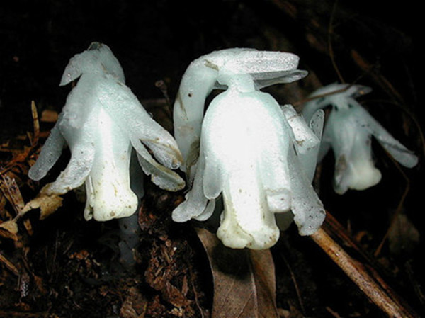 幽灵之花——水晶兰图片