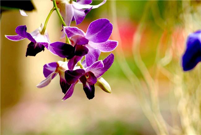 热带兰精美图片