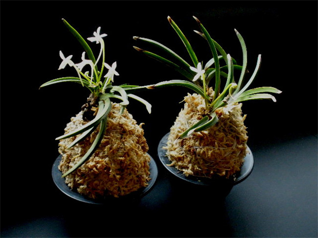 热带兰盆栽
