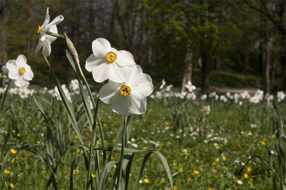 什么花适合在室内养_水仙花的虫害防治方法 - 花百科