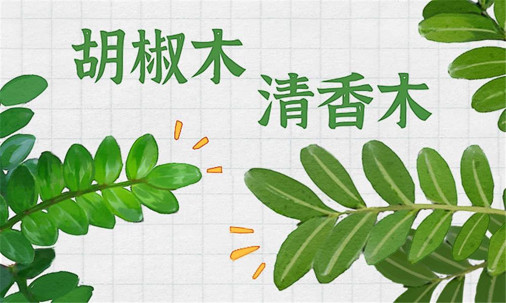 清香木盆景怎么养_清香木有哪些作用 - 花百科