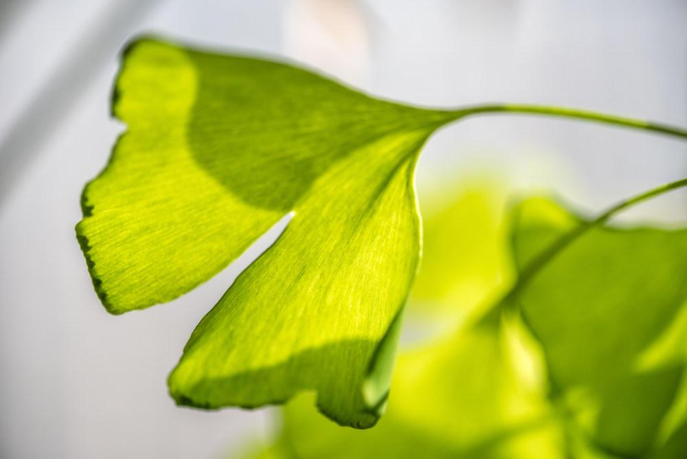 银杏树叶的作用_银杏叶有什么作用 - 花百科