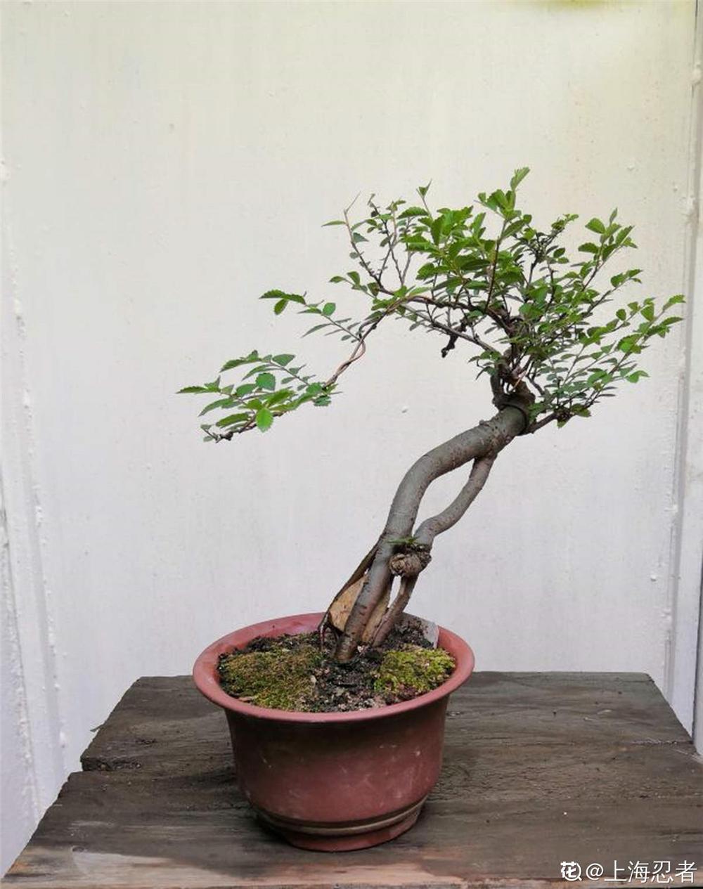 红叶小檗价格_绿篱的种类有哪些 – 花百科