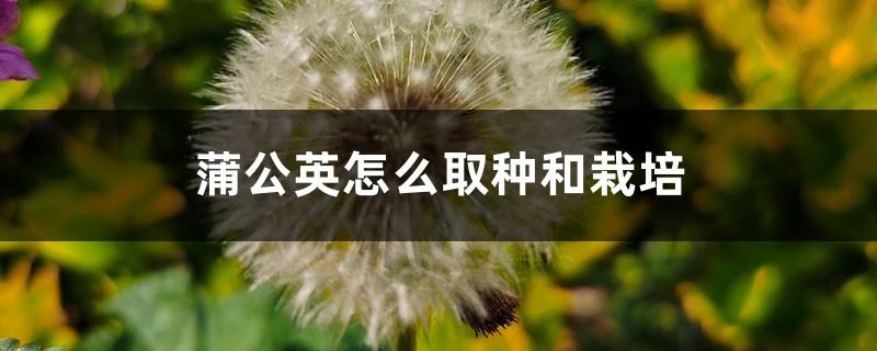 蒲公英怎么取种和栽培