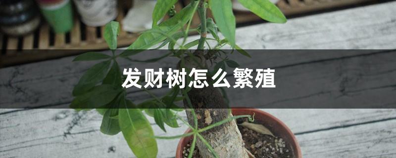 发财树怎么繁殖