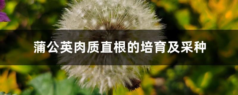 蒲公英肉质直根的培育及采种