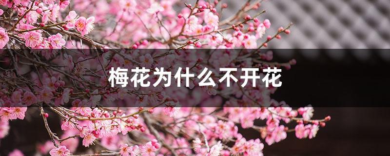 梅花为什么不开花