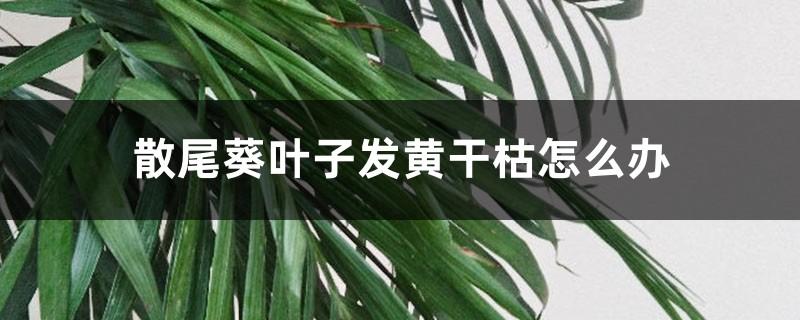 散尾葵叶子发黄干枯怎么办