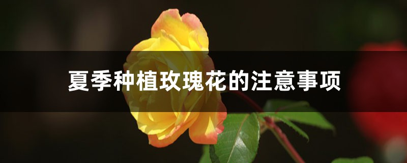 夏季种植玫瑰花的注意事项
