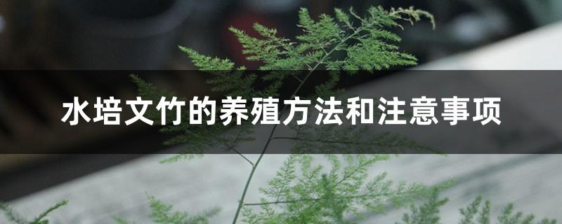 水培文竹的养殖方法和注意事项