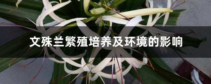 文殊兰繁殖培养及环境的影响
