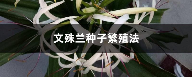 文殊兰种子繁殖法