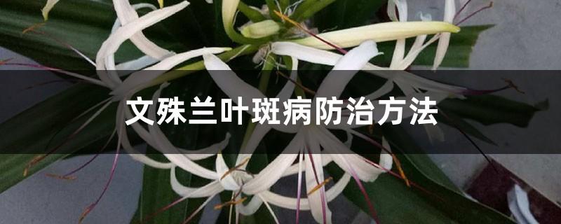 文殊兰叶斑病防治方法