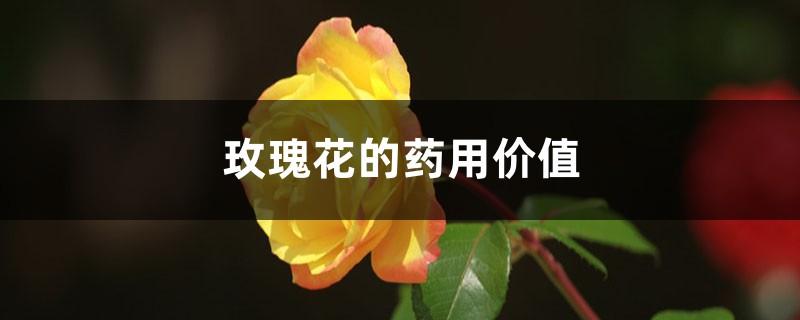 玫瑰花的药用价值