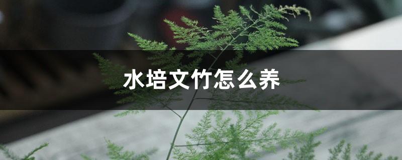 水培文竹怎么养