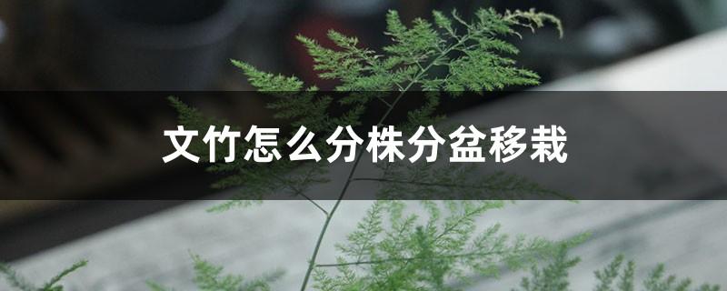 文竹怎么分株分盆移栽