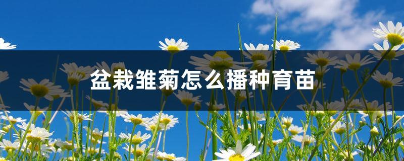 盆栽雏菊怎么播种育苗