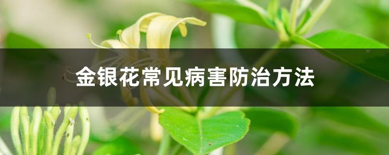 金银花常见病害防治方法