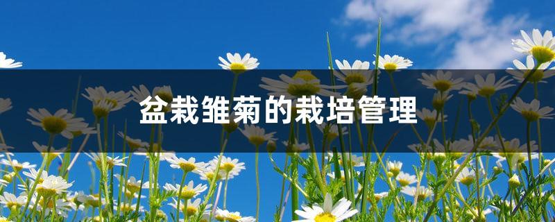 盆栽雏菊的栽培管理