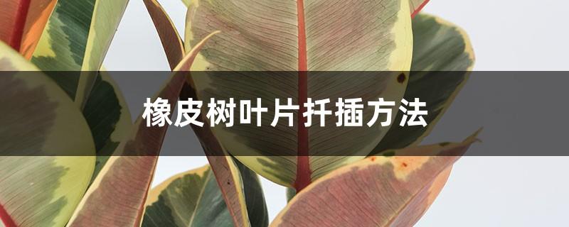 橡皮树叶片扦插方法