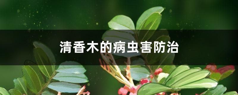 清香木的病虫害防治