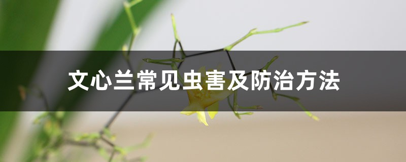 文心兰常见虫害及防治方法