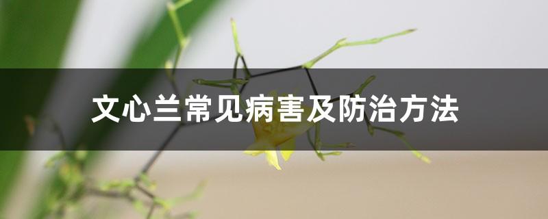 文心兰常见病害及防治方法