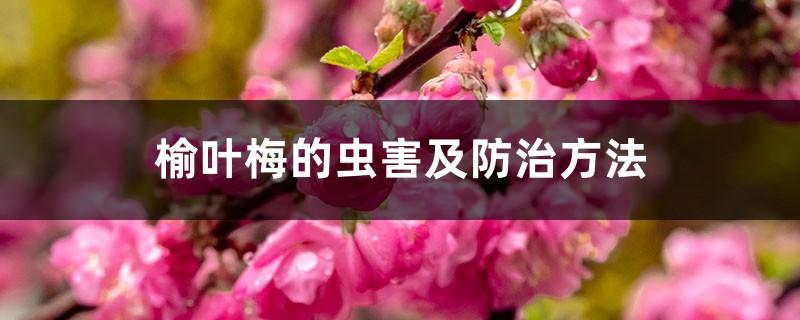 榆叶梅的虫害及防治方法