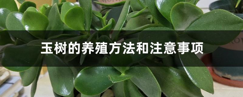 玉树的养殖方法和注意事项