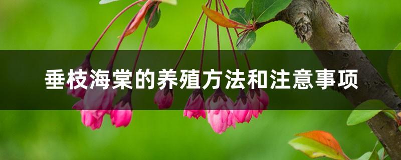 垂枝海棠的养殖方法和注意事项