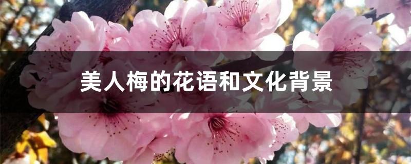 美人梅的花语和文化背景
