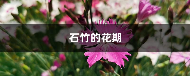石竹的花期
