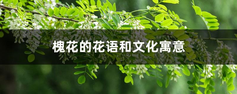 槐花的花语和文化寓意