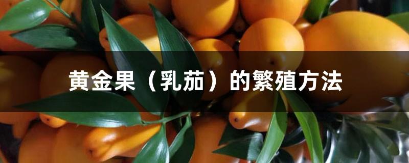 黄金果(乳茄)的繁殖方法