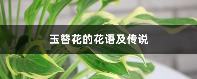 玉簪花的花语及传说