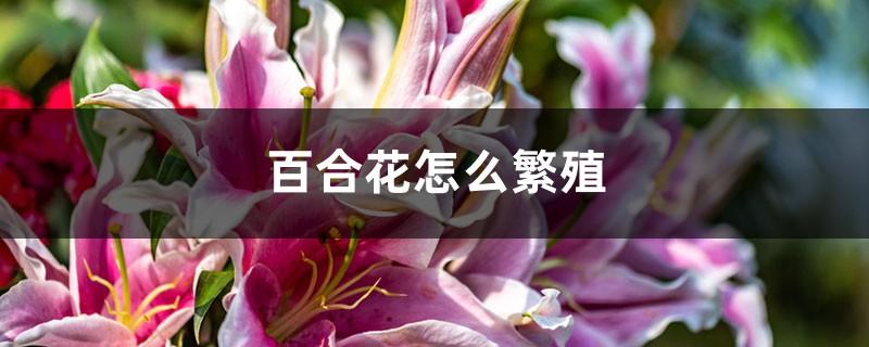 百合花怎么繁殖