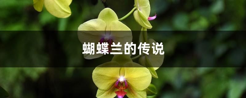 蝴蝶兰的传说