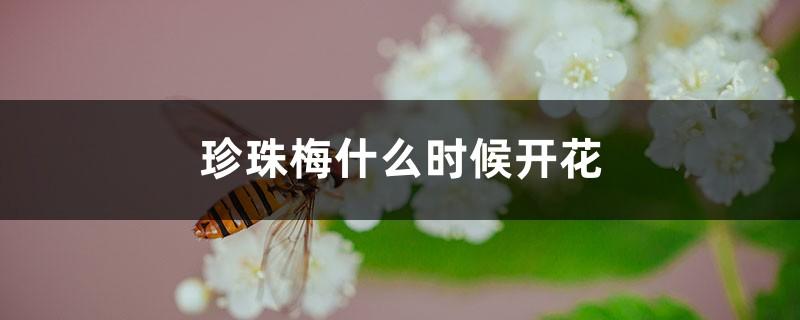 珍珠梅什么时候开花
